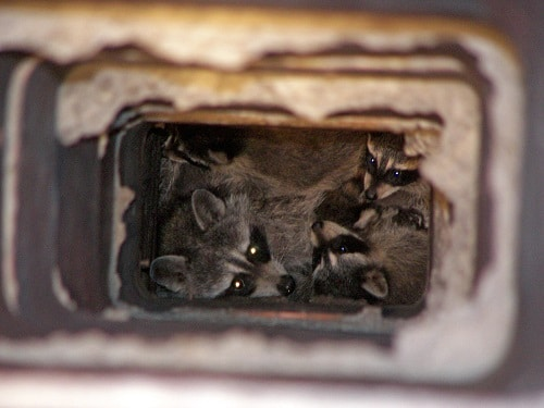 Raccons Living in a Chimney